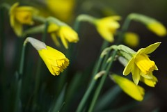 Yellow and Green - Simple Beauty of Spring (Magdalen Green Photography) Tags: scotland pretty dundee f14 85mm daffodils yellowandgreen coolgreen dsc5383 iaingordon scottishspring simplebeautyofspring