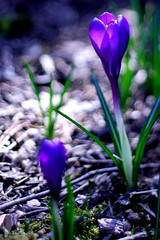 It Does Flowers, Too! (jomak14) Tags: lumix spring crocus panasonic manualfocus tiltshift hcs 2011 gf1 madeinukraine fotodioxadapter eostom43rds photex80mmf28 flowersscavengerhuntthread