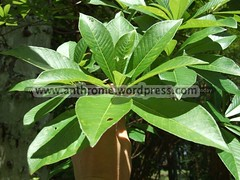Canonball tree lea (Spencer Woodard) Tags: food plants fruit photography leaf flora photos images tropical agriculture spencer botany subtropical edible medicinal woodard