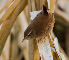 Wren (Simon Davey, Birds etc) Tags: water birds canon wren rickmansworth aquadrome troglodytestroglodytes 500mmf4is eos7d