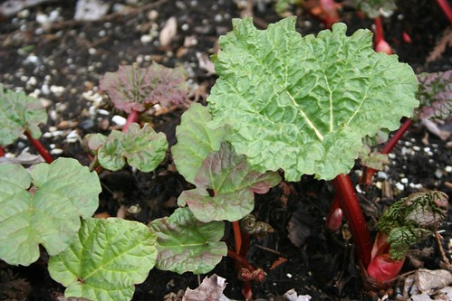 this is not just any rhubarb sprouting...