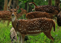 Chital - (Spotted Deer)