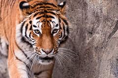 [フリー画像] 動物, 哺乳類, ネコ科, 虎・トラ, 201103311100