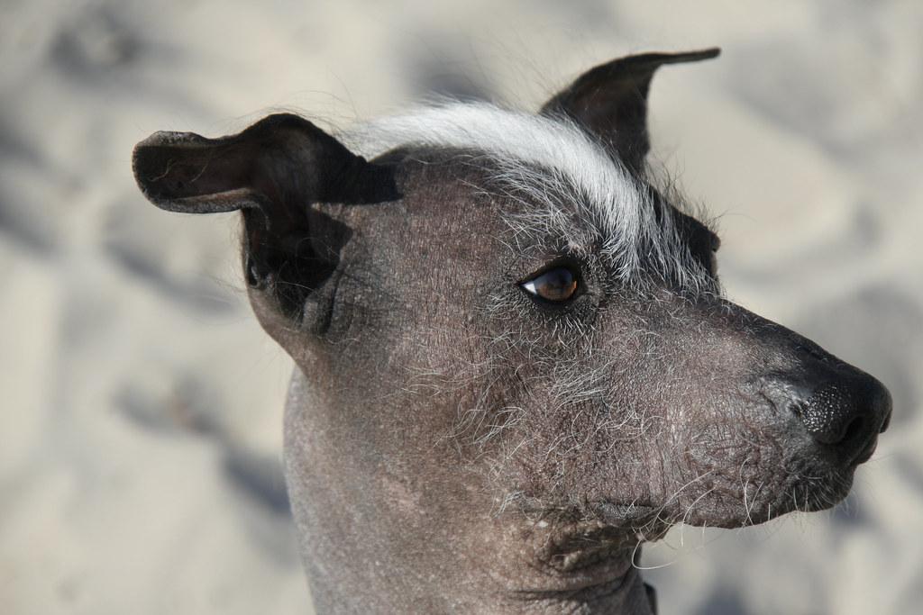 Naqui - Peruvian Hairless Dog