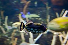 Fastest fish in the Tank ! (Farzad) Tags: seattle fish aquarium washington nikon fast panning effect blrry colorphotoaward mygearandme ringexcellence