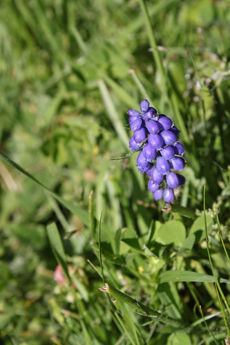 Grape Hyacinth: A single grape hyacinth, happily blooming.