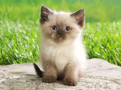 [フリー画像] 動物, 哺乳類, 猫・ネコ, 子猫・小猫, シャム (ネコ), 201104271100