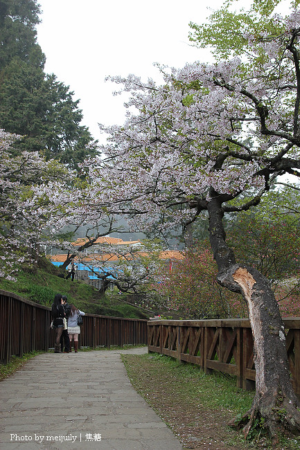 阿里山櫻花季陰天版11