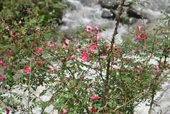 Rosa sp., Mianning County June 2016 (Aidehua2013) Tags: rosa rosaceae rosales mianningcounty sichuan china unidentified unidentifiedplant