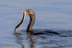 Another eel lunch for this cormorant! (danielusescanon) Tags: conowingo eel feeding dam maryland doublecrestedcormorant phalacrocoraxauritus birdperfect animalplanet