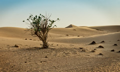 Dubai desert (Tiigra) Tags: dubai unitedarabemirates ae 2013 color landscape nature plant
