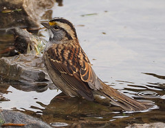 white-throated sparrow 20160930 (johngor2014) Tags: whitethroatedsparrow ottawa ontario canada bird