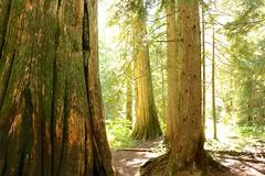 Cedar Grove (CLloyd Photos) Tags: trees mountains alpine fall autumn creation cedars