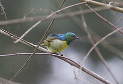 Collared Sunbird (Hedydipna collaris subcollaris) (macronyx) Tags: bird birds birding africa ghana birdwatching nature wildlife aves fglar oiseaux vogel sunbird collaredsunbird hedydipna hedydipnacollaris hedydipnacollarissubcollaris
