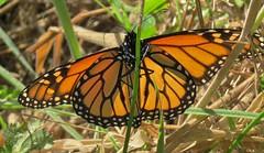 resting (wandala2012) Tags: monarch marinheadlands migration butterflies