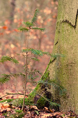 025 - 365 - big vs small (ronny..) Tags: life new old trees brown macro tree green nature leaves forest mos moss bomen nikon bokeh bast young natuur boom 100mm tokina blad explore dirt creation bark fir 365 spar bos sidebyside spruce oud leven jong nieuw odc grond bladeren d90 schepping project365 explored tokina100mm threesixtyfive ourdailychallenge project36612011 2011yip 3652011 2011inphotos threehunderdsixtyfive