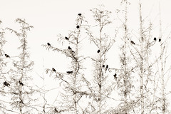 The crows in the trees II (Villi.Ingi) Tags: trees bw canada bird nature birds sepia contrast many britishcolumbia group crows toned pipc fuglar giap krkur giapfebruar giap070211