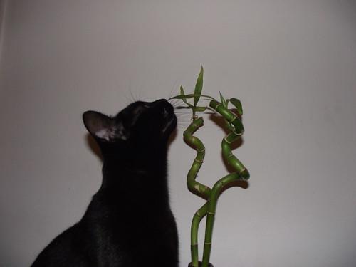 black cat lola bombay