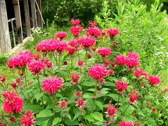 Beebalm (hickamorehackamore) Tags: flowers red summer green me garden backyard native sister wildlife blossoms maine belfast beebalm monarda habitat certified nwf mysistersgarden
