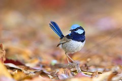 Simply Superb (Callocephalon Photography) Tags: blue bird superb australia tasmania fairywren passerine mtfieldnationalpark superbfairywren maluruscyaneus specanimal