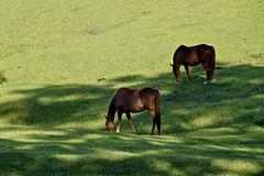 Praa de Alimentao boa pra cavalo! (Gilberto Teles) Tags: horse verde green brasil sopaulo cavalo canon7d gilbertoteles estanciasofrancisco