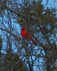 male cardinal in a tree
