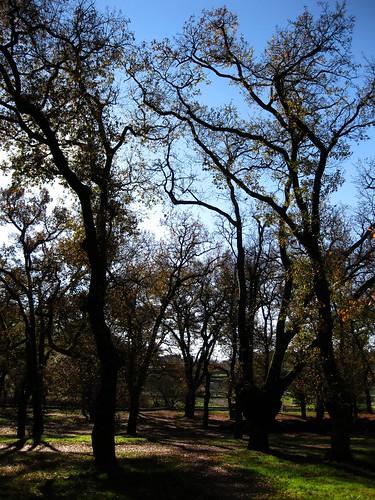 Quercus contraluz (carballeira de Caldas de Reis)