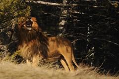Barbary Lion (Ami 211) Tags: lion bigcat bigcats panthera pantheraleo felidae pantherinae bigcatslionbarbarylion