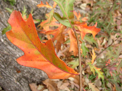 oak orange