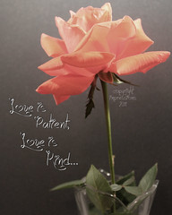 Love is Patient, Love is Kind... (AmysBodyDecor {Bailey Brand}) Tags: pink love rose peach patient kind impressions flowerscolors fantasticflower creationnation amysbodydecor impressionsbyamy