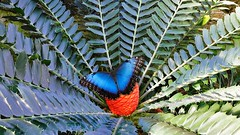 Blauer Schmetterling auf Pflanze (jorg.lutz) Tags: blue orange fern butterfly munich jungle morpho blau falter cycad botanicgarden frucht glasshouse fotomontage farn muenchen schmetterling wunderland dschungel bluete weitwinkel botanischergarten baumfarn gewaechshaus fruchtstand cycadeen