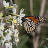 Monarch on Paperwhites (bunnyfrogs) Tags: flowers butterfly bug insect texas tx monarch paperwhites narcissus quintana
