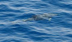 Dolphin Fantasy i (debunix) Tags: blue hawaii december dolphin maui 2010 bottlenose cmwdblue