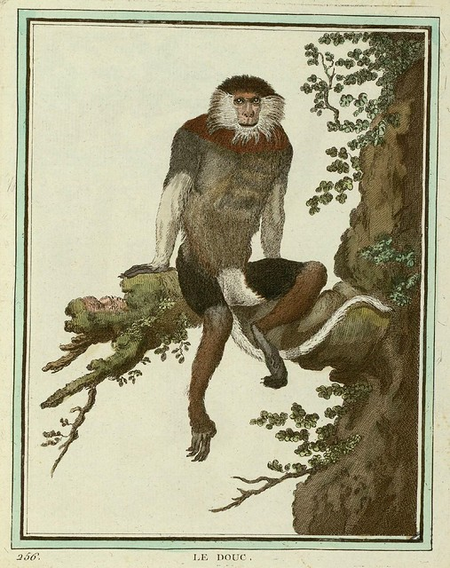 Red-shanked douc (old world monkey)