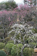 Hill of ume blossoms / 梅の斜面