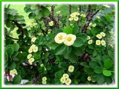 Euphorbia milii 'Yellow Dwarf' (Crown of Thorns)