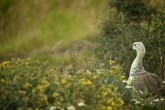 Torres del Paine, Upland Goose (edwademd) Tags: southamerica birds landscape torresdelpaine