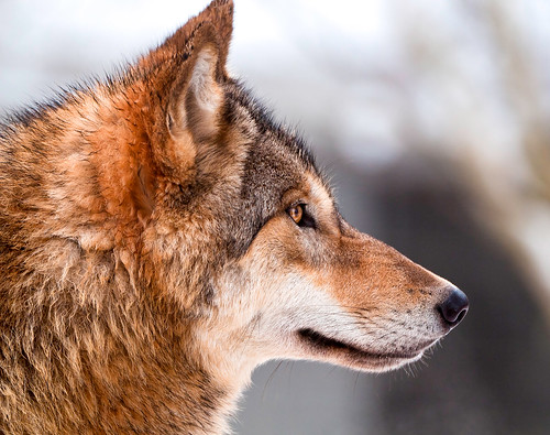 Wolf profile by Tambako the Jaguar