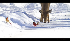 Friends Share a Moment (Straublund1) Tags: winter il deer edwards cardinals wpsp