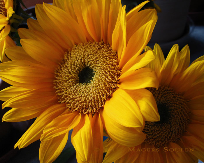 A deep warm yellow and orange sunflower glows in the early morning light.