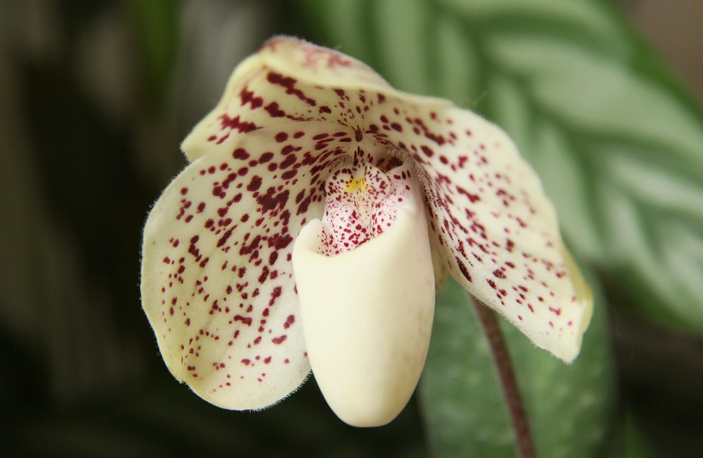 Paphiopedilum leucochilum Top Ten