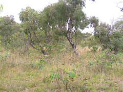Woodland understory - post fire eucalypt regrowth (Ace Frawley) Tags: australia canberra grassywoodlandunderstory