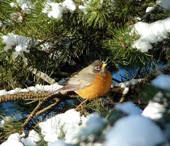 Robin in the snow (Wayne~Chadwick) Tags: snow robin birds lumixfz18