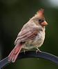 Cardinal, female (AllHarts) Tags: wingtips cardinalfemale topseven fishisland globalvillage2 casualphotography lapetitegalerie pogchallengewinnershalloffame lakebarkleylodge geniesnaturegallery naturespotofgoldlevel1 fotografeanaturezaemostre lagaleriedesanimaux