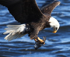 Gotcha (Explore -  Thank You) (Magnificat Photos) Tags: winter fish water canon eagle feeding iowa mature xsi leclaire thewonderfulworldofbirds