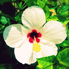 hibiscus (uninvented colors) Tags: pink white flower green nature yellow colorful outdoor hibiscus bloom bermuda bold