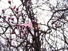 Budding Hope (ForgottenGenius) Tags: pink flower tree cherry spring branch blossom petal sakura bud