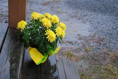 rainy spring day.jpg (galaxed) Tags: rain chrysanthemum photoshopelements9