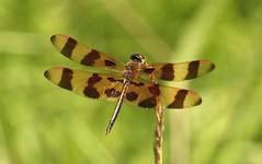 Halloween Pennant (DrPhotoMoto) Tags: male dragonfly northcarolina picnik richmondcounty halloweenpennant