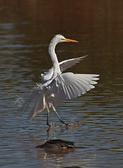 Great White Egret Landing At The Pond. (Tom Stanley Janca) Tags: arizona ngc gilbert greatwhiteegret top20colorpix artphotojancas tomstanleyjanca jancasartphotos